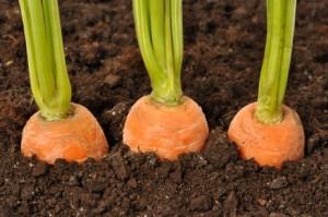 tanam-wortel